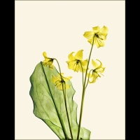 Dog tooth Violet - Yellow