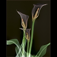 Calla Lillies on Black