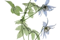 Blue Boy Clematis - coloured