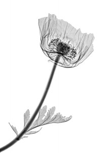 poppy - xray art photography