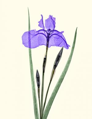 Japanese-Siberian-Iris-coloured.jpg